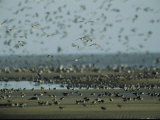 Huge Flock of Migratory Shorebirds, Including Red Knot Sandpipers Photographic Print by Steve Winter