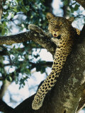 Close View of Leopard in Tree Photographic Print