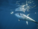 A Giant Bluefin Tuna Feeds at the Waters Surface Photographic Print by Brian J. Skerry