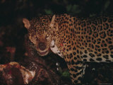 A Wounded Jaguar Eats a Peccary it Killed During a Fight Photographic Print by Joel Sartore