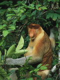 A Male Proboscis Monkey, Nasalis Larvatus, Forages for Leaves Photographic Print by Tim Laman