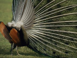 A Rear View of an Indian Peacock with Tail Feathers Spread Photographic Print