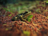 Frog, Clayoquot Sound, Vancouver Island Photographic Print by Joel Sartore