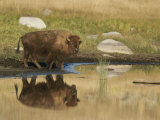 A Bison (Bison Bison) is Reflected on the Water Photographic Print by Tom Murphy