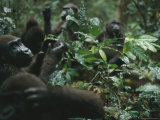 Orphaned Gorillas Learn Survival Skills at a Restoration Project Photographic Print by Michael Nichols