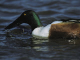 A Northern Shoveler Feeds by Straining Water Through its Bill Photographic Print by Tim Laman
