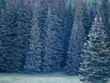 Evergreen Trees on the Edge of a Dense Wood Photographic Print by Raul Touzon