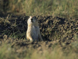 A Black-Tailed Prairie Dog Peers over the Entrance to its Burrow Photographic Print by Raymond Gehman
