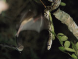 A Cuban Boa Dangles Waiting for a Passing Meal of Bat Photographic Print by Steve Winter