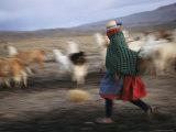 Panned View of an Aymara Woman Herding Llamas in the Atacama Desert Photographic Print by Joel Sartore