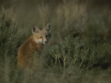 Red Fox Kit, Red Rocks National Wildlife Refuge, Montana Photographic Print by Raymond Gehman
