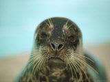 A Whiskery Harbor Seal, Phoca Vitulina Photographic Print by Joel Sartore
