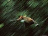 A Proboscis Monkey, Nasalis Larvatus, Leaps Through the Air Photographic Print by Tim Laman