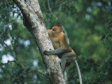 A Well-Muscled Male Proboscis Monkey Climbs a Tree Photographic Print by Tim Laman