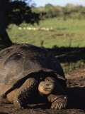 Giant Galapagos Tortoise Photographic Print by Steve Winter