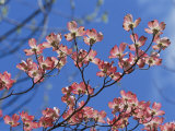 Spring Flowers, Pink Dogwood, Mid-May, Massachusetts Fotografie-Druck