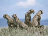A Cheetah Family Photographic Print by David Pluth