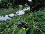 The Skull of an Extinct Cuban Monkey Lying on Vegetation Near Water Photographic Print by Steve Winter