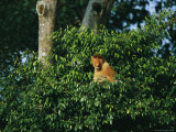 A Male Proboscis Monkey Sits in a Cluster of Treetop Foliage Photographic Print by Tim Laman