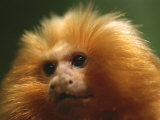A Portrait of a Golden Lion Tamarin Photographic Print by Joel Sartore