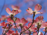 Spring Flowers, Pink Dogwood, Mid-May, Massachusetts Photographic Print