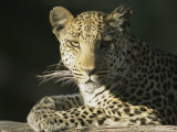 A Leopard, Panthera Pardus, Rests in a Sunny Spot Photographic Print