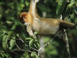 A Juvenile Proboscis Monkey, Nasalis Larvatus, Munches on a Leaf Photographic Print by Tim Laman