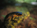 Rough-Skinned Newt Photographic Print by Joel Sartore