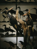 Specimens of Now Extinct Ivory-Billed Woodpeckers Stand in a Museum Photographic Print by Steve Winter