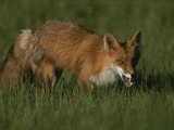 Close View of a Red Fox in Grass Photographic Print by Roy Toft