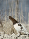 A Willow Ptarmigan Near a Clump of Tall Grasses Photographie par Norbert Rosing