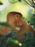 A Portrait of an Adult Male Proboscis Monkey Photographic Print by Tim Laman