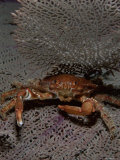 A Red Ridged Clinging Crab in a Defensive Posture Photographic Print by Brian J. Skerry