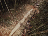 The Team Uses Axes and Machetes to Carve a Tree Trunk into a Canoe Photographic Print by Nicolas Reynard