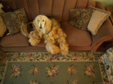 An Afghan Hound Lies on a Sofa Photographic Print