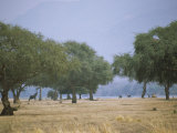 Ana Trees with Browsing Elephants Photographic Print by Beverly Joubert