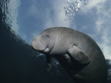 Close View of a Florida Manatee in Floridas Crystal River Photographic Print by Brian J. Skerry