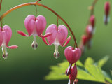 Spring Flowers, Dutchmans Breeches (Bleeding Hearts) Mid-May Photographic Print by Darlyne A. Murawski