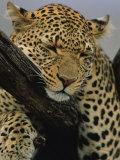 Close View of Leopard Sleeping in Tree Fotografisk tryk af Norbert Rosing