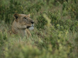 Profile Portrait of an African Lioness in a Grassy Landscape Photographic Print by Roy Toft