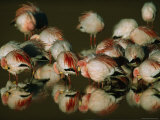 A Flock of Migratory Flamingos Roost in a High-Altitude Lake Photographic Print by Joel Sartore