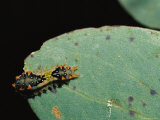 Mottled Cup Moth Caterpillar on Eucalyptus Leaf Photographic Print by Jason Edwards