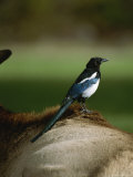A Magpie Sits on the Back of an Elk Photographic Print by Tom Murphy