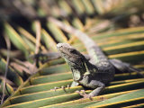 A Land Iguana Rests on a Palm Frond Photographic Print by Bill Curtsinger