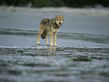 Gray Wolf on Shore of Vargas Island Photographic Print by Joel Sartore