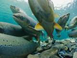 Wild Atlantic Salmon Make Their Way Upstream Through Clear Waters Photographic Print by Paul Nicklen