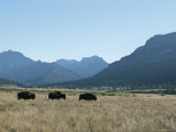 American Bison Graze in a Prairie at the Foot of Rugged Mountains Photographic Print by Tom Murphy