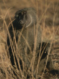 An Olive Baboon Sits Amid Tall Grasses Photographic Print by Roy Toft