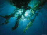 View of Giant Kelp Forest with Surface Sunlight Photographic Print by Tim Laman