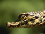 Close View of a A Baby West African Dwarf Crocodile Photographic Print by Joel Sartore